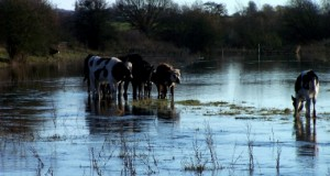 The cows were stranded by the rising flood waters on Sunday