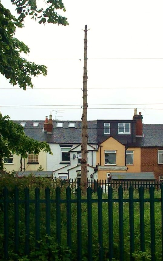 The work was postponed earlier this year, leaving some trees looking like giant totem poles! Picture by John Dalton