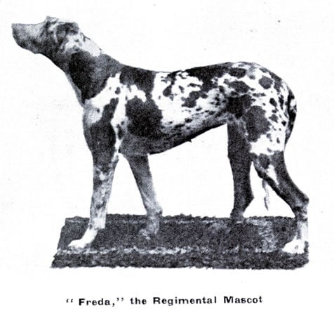 Freda the Anzac Puppy: the only known photo of Freda the Harlequin Great Dane