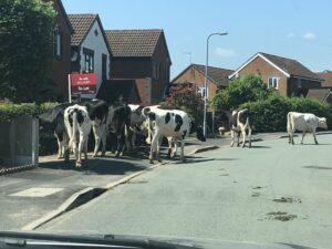Cows - Kingsland Road